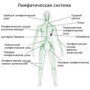 За что отвечает лимфатическая система