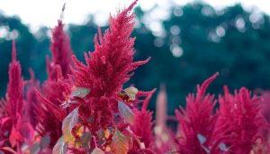 Амарант как выглядит растение